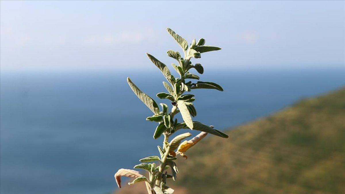 Ganos Dağı eteklerindeki ada çayı bölge halkına gelir sağlıyor