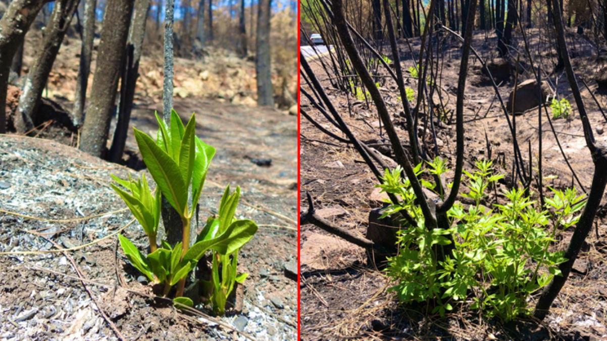 Yangın bölgesinden sevindiren görüntüler! Yanan ormanlar küllerinden doğuyor